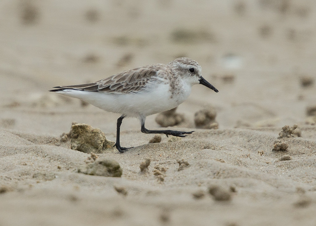 Little Stint  Thailand