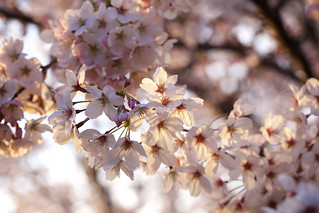 GH Cherries Blossoms Closeup