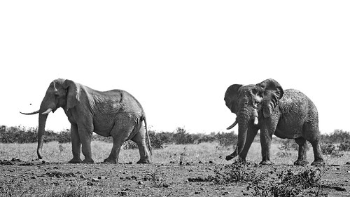 Two Giants At Mopani - African Elephants