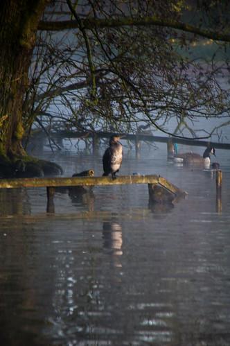 Cormorant on a misty morning