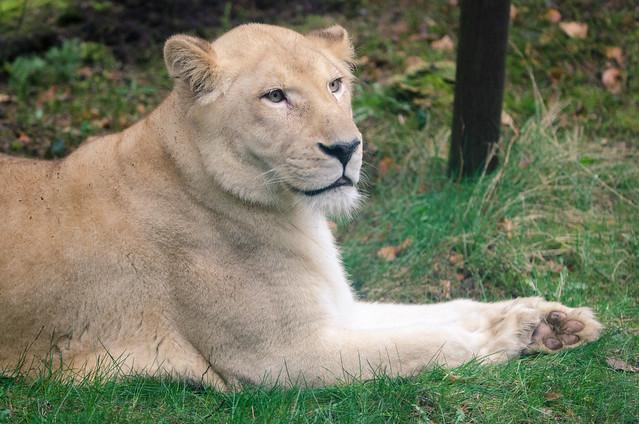 Tierfoto einer Löwin