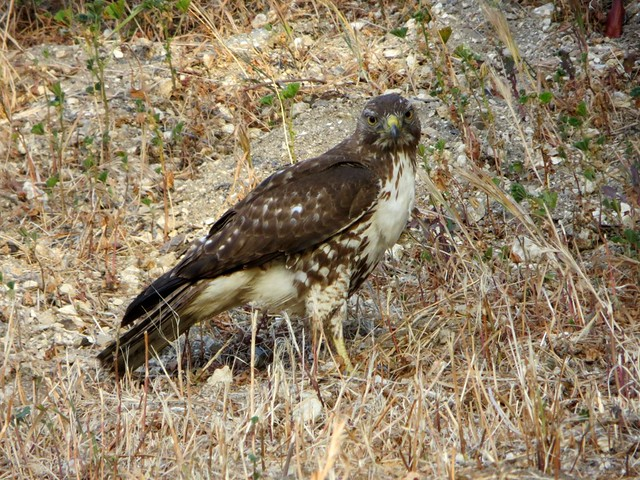 hawk just caught something