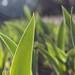 Waving In the Iris Fields by cogdogblog
