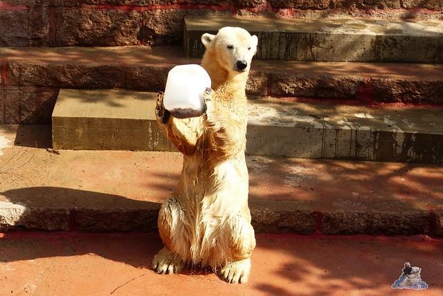 Eisbär Fiete Zoo Rostock 11.04.2015 Teil 1 76