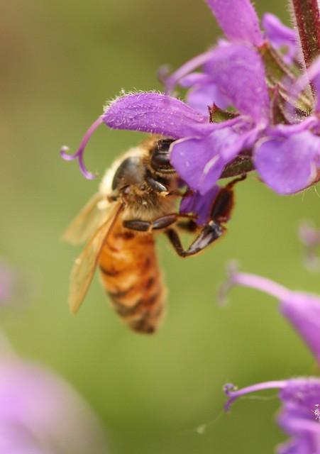 Honeybee on Salvia