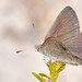 Small photo of Butterfly Candalides acasta