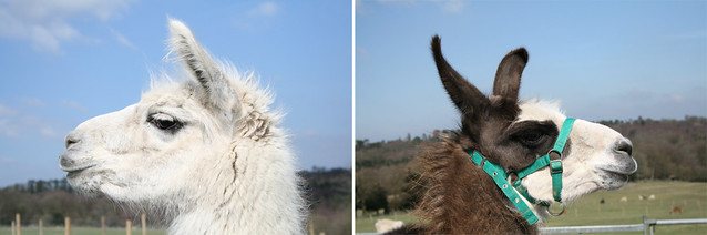 profile llamas