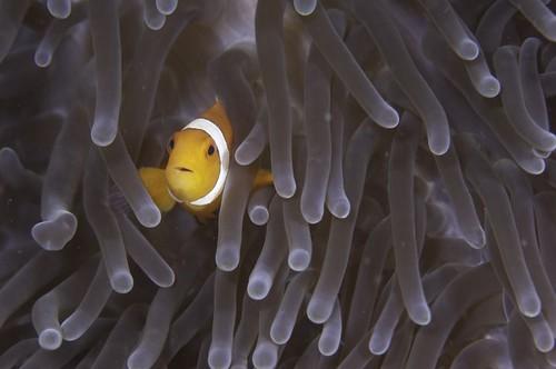 自然環境中海葵提供小丑魚庇護。圖片來源:Ocean Health Index