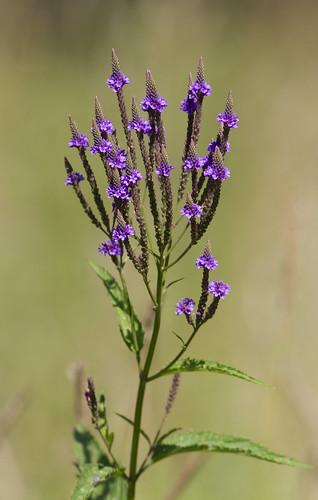 flowers purple prairie verbena vervain