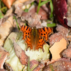 Wicklow Comma