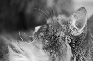 Domestic cat, sideview