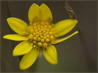 Gold Star: a springtime study