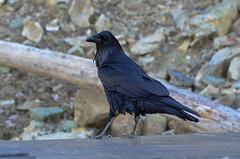 cinclidae(0.0), blue(0.0), jay(0.0), emberizidae(0.0), rook(0.0), animal(1.0), wing(1.0), raven(1.0), nature(1.0), crow(1.0), fauna(1.0), american crow(1.0), beak(1.0), bird(1.0), wildlife(1.0),