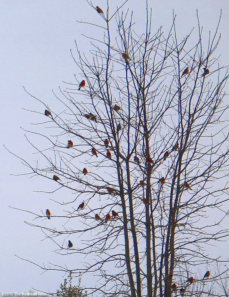 many American Robin redbreast birds in tree Birds Of A Feather Flock Together 1