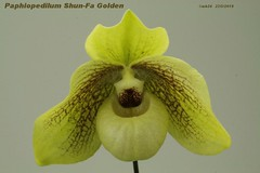 Paphiopedilum Shun-Fa Golden (hangianum x malipoense) par Michel B
