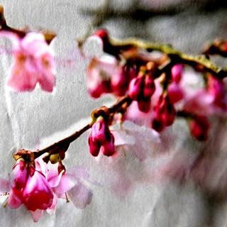 088. cherry blossoms