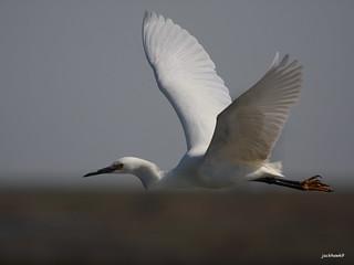 """Great Egret"" ""Ardea alba"""