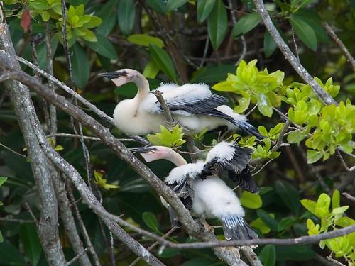 Yucatan Jay (cyanocorax yucatanicus)