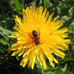 Solitary bee on a dandelion, Sandy, Bedfordshire
