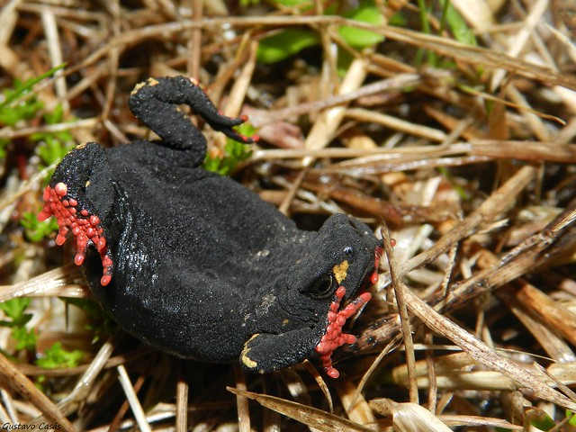 Sapito Darwin (Melanophryniscus montevidensis)