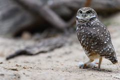 Burrowing Owl with a Mouse