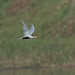 Black-bellied Tern ( Sterna acuticauda)