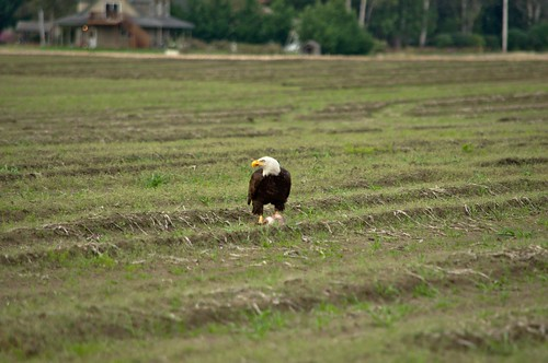 Bald Eagle Looking Up from His Rabbit Dinner