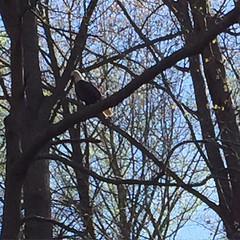 I see you Mr Bald Eagle!