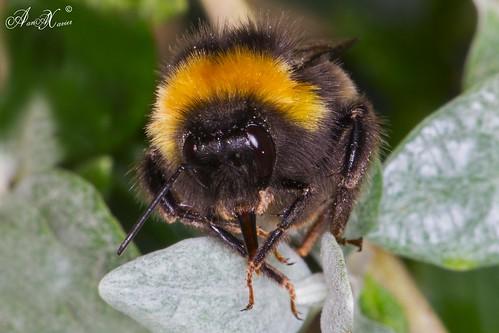 Abelhão, Buff-tailed bumblebee (Bombus terrestris) - em Liberdade [in Wild]