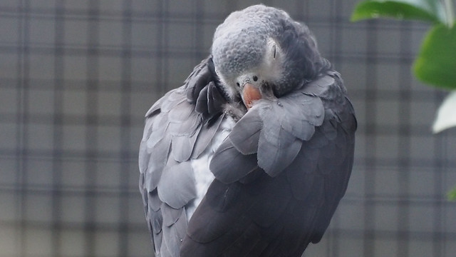 Sleeping African Gray Parrot, Melbourne Zoo March 2015