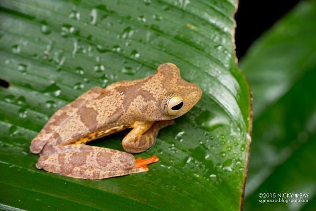 Harlequin flying frog (Rhacophorus pardalis) - DSC_3906