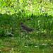 Tordo-comum - Song Thrush