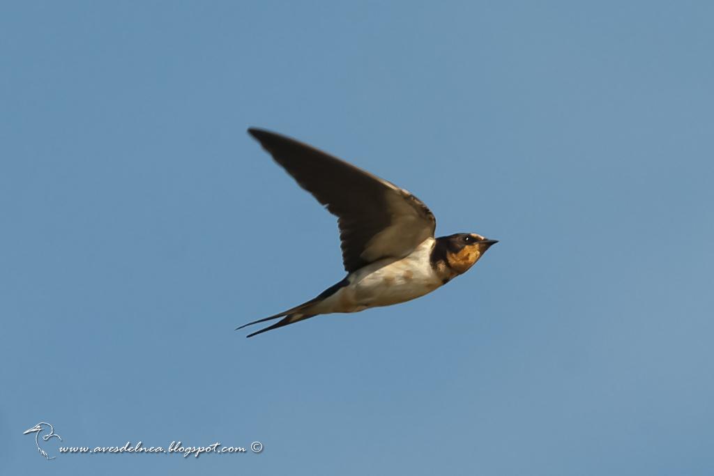 Golondrina tijerita (Barn Swallow) Hirundo rustica