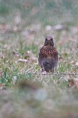 sparrow(0.0), animal(1.0), prairie(1.0), fauna(1.0), ruffed grouse(1.0), beak(1.0), bird(1.0), galliformes(1.0), wildlife(1.0),