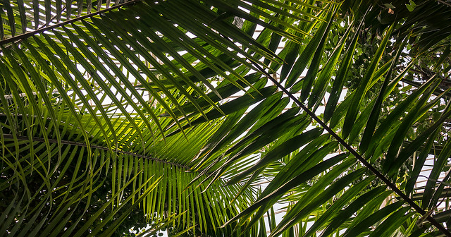African Oil -Palm