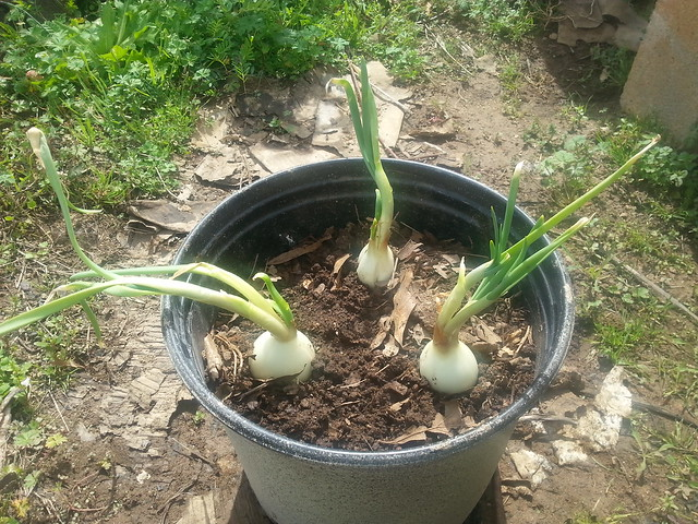 planted onions 1