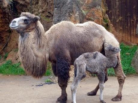 Nace en el Parque de la Naturaleza de Cabárceno una nueva cría hembra de camello bactriano @cant_infinita