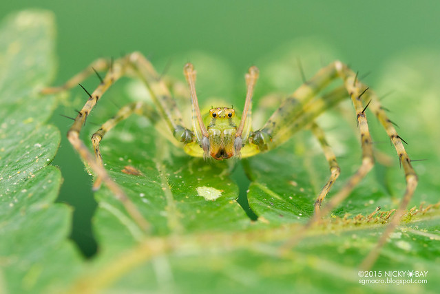 Crab spider (Pharta sp.) - DSC_3257