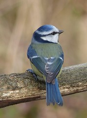 chickadee(0.0), blue jay(0.0), jay(0.0), animal(1.0), branch(1.0), fauna(1.0), close-up(1.0), bluebird(1.0), blue(1.0), emberizidae(1.0), beak(1.0), bird(1.0), wildlife(1.0),