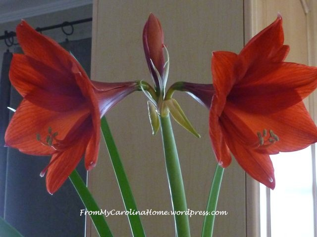 Amaryllis rebloom 14