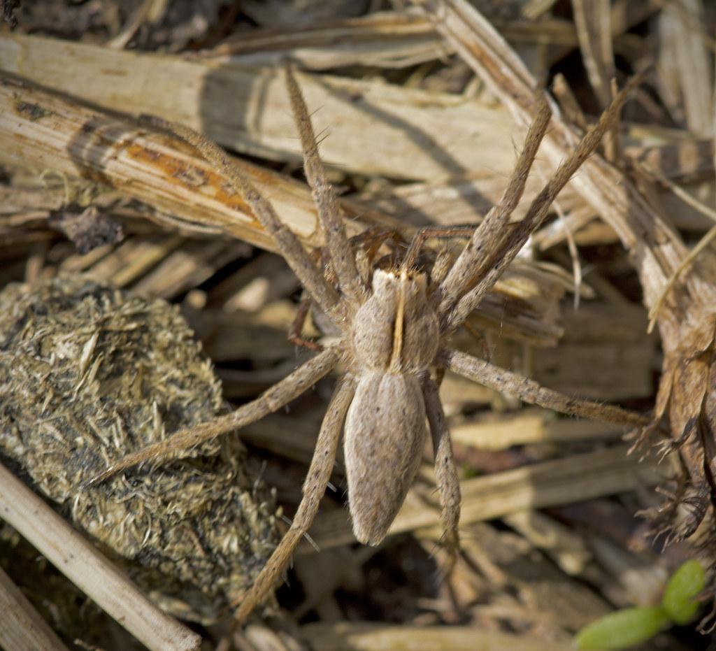 Nursery Web Spider - Pisaura mirabilis?