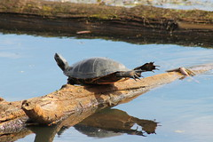 IMG_7131 Red-eared Slider - Sunbathing