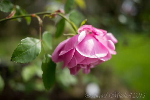Closeup of Rose, Lumix GH-2