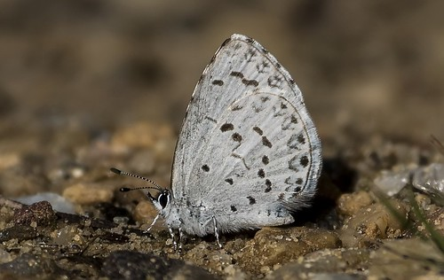 county anne spring azure maryland research arundel patuxent refuge celastrinaladon