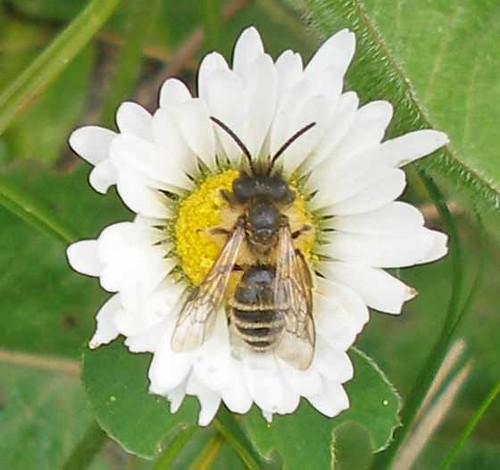 Solitary bee on daisy
