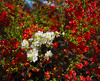 flowering bush-016