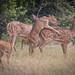 Deer Mating