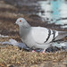 Bjargdúfa Columbia livia Rock pigeon