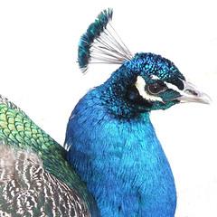 Resident Peacock, outside Secluded Garden, Kew Gardens @ 21 February 2015