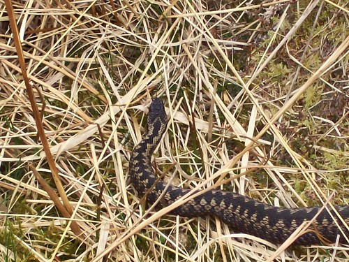 Adder at Glen Lethnot